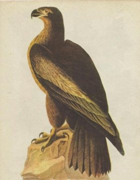 John James Audubon Circa 1946 BALD EAGLE MATTED PRINT