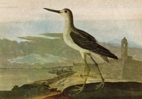 John James Audubon Circa 1946 GREEN-SHANK