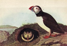 John James Audubon Circa 1946 ATLANTIC PUFFIN MATTED P