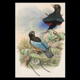 Gould & Richter Lithograph,  Bird Of Paradise