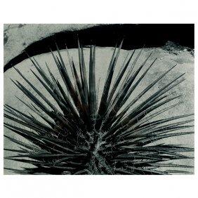 "Brett Weston ""succulent 1963"" Silver Gelatin Print."