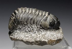 An Early Cambrian / Devonian Trilobite Fossil � Morocco