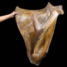 Wooly Mammoth Complete Scapula - Pleistocene Period