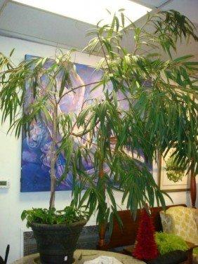 Tropical Live Tree In Fiber Form Pot: