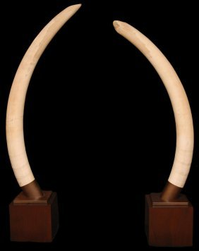 PAIR OF ELEPHANT IVORY TUSKS ON STANDS OVER 6'