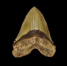 Natural History - Megalodon Shark Tooth Museum Replica