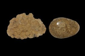 Natural History - Colony Of Coral Fossil Specimen