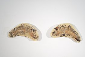 Prehistoric Vinctifer Comptoni Fossil