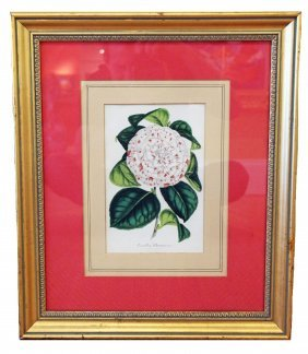 FOUR BELGIUM HAND COLORED BOTANICALS OF CAMELLIAS