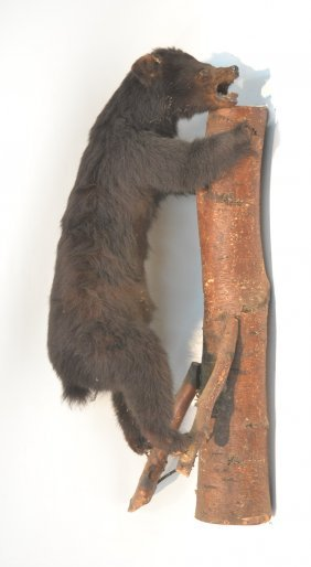 "Taxidermy Bear Climbing Tree - 13"" X 39"""