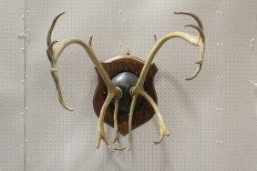 Pair Large Mounted Deer Horns