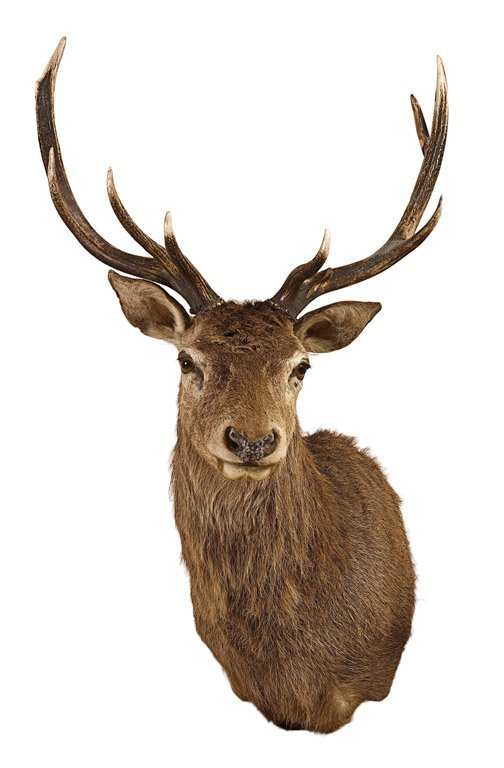 3 A Taxidermied Wall Mounted Stag Head 140cm High, 80c. Modern Powder Room. Folding Room Doors. Door Stops Decorative. Halloween Wedding Decorations. Dining Room Chair Cover. Stage Decor. Traditional Decorating. Deck Decor
