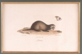 GEORGES CUVIER (1769-1832) LITHOGRAPH 'PUTOIS'