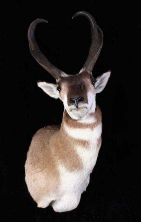 Montana Antelope Pronghorn Trophy Mount