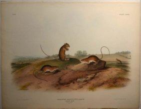 Audubon, ''Meriones Americanus,'' 1846, Folio Ed.