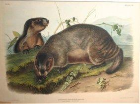 Audubon, Hoary Marmot'' Folio, 1846