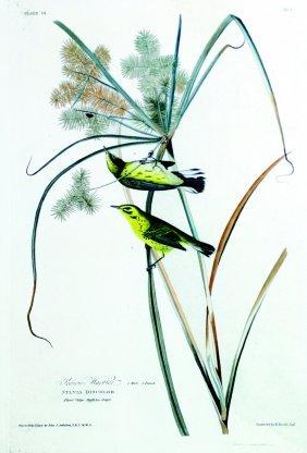 John James Audubon, Plate 14: