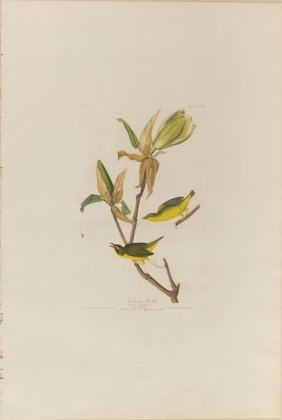John James Audubon, Plate 38: