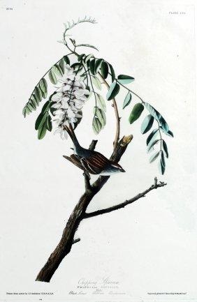 John James Audubon, Plate  104: