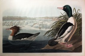 Audubon Aquatint By Havell, Goosander