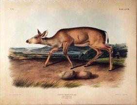 Audubon Lithographs, Imperial Folio, Black-tailed Deer,