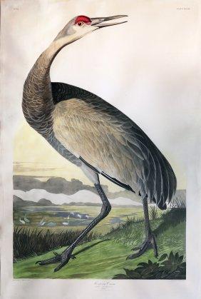 Audubon Aquatint Engraving, Hooping Crane