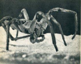 Leonard, James M - Wolf Spider