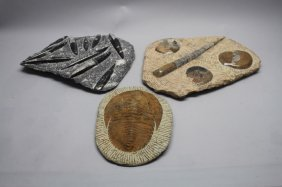 (3) Moroccan Fossils