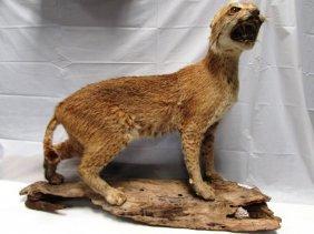Bobcat Lynx Mount Taxidermy Full Body