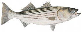 Flick Ford - Mature Striped Bass