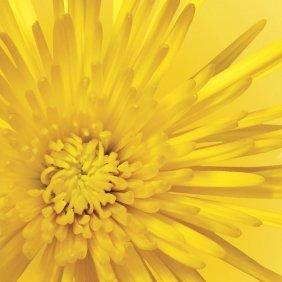 Jenny Kraft. Yellow Mum 3