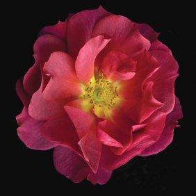 Richard Reynolds - Hybrid Rose Cinco De Mayo