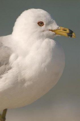 Steve Gettle - Ring-billed Gull, Fort Desoto Park,