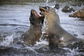 Tui De Roy - Hooker's Sea Lion Cow Sparring With Young
