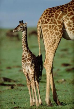 Tim Fitzharris - Giraffe Mother With Young, Kenya