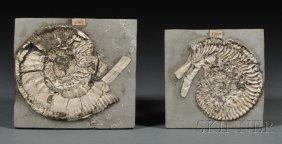Two Ammonites Chippenham, Wiltshire, England Juras
