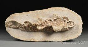 Fish Brazil CretaceousSantana FormationAparidelepi