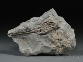 Crinoid Dudley, England Mid-SilurianWenlock Limest