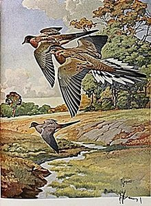 "Lithograph ""the Mourning Dove"" By Artist Francis Lee"