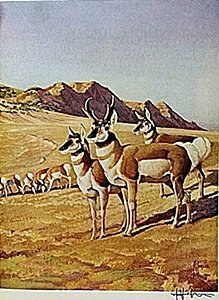 "Lithograph ""the Pronghorn Antelope"" By Artist Francis"