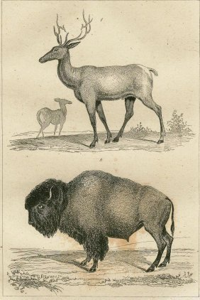 American Elk And Bison. 1837.