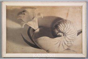 Attributed Cunningham, Botanical Nautilus, Photog