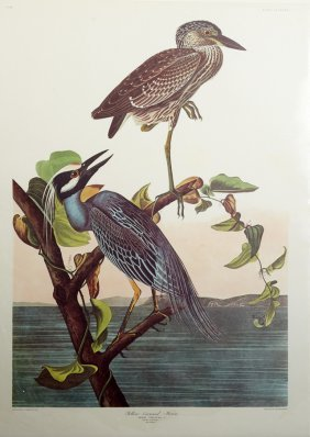 "John James Audubon (1785-1851), ""yellow-crowned Heron,"""