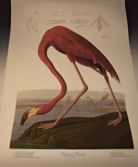 Audubon American Flamingo
