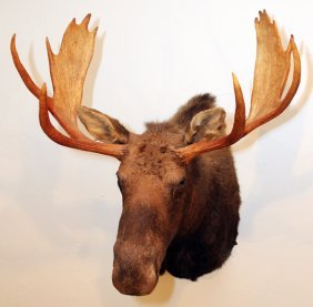 Eastern Canadian Moose Trophy Mount