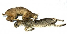TWO TAXIDERMY BOBCATS