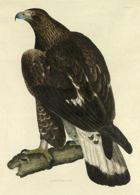 Adler: Golden Eagle, Young