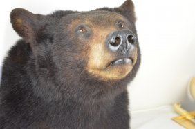 The Head Of Black Bear