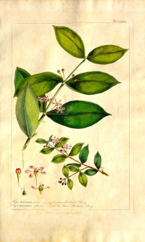 Barbados Cherry By Miller, 1760