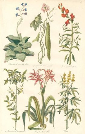 Botanical Engraving By John Hill